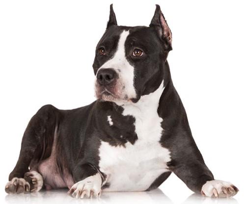 American Staffordshire Terrier çeşitli renklerde olabilir.