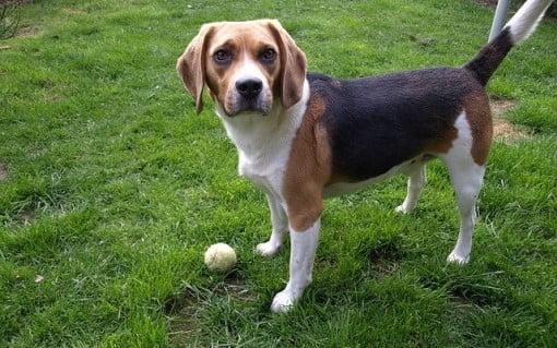 Beagle hem oyuncu hem de meraklıdır.