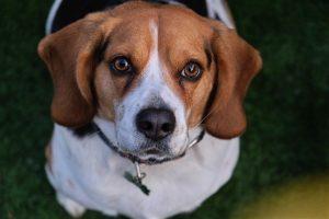 Beagle Özellikleri