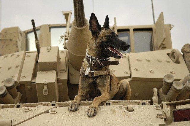Belçika Malinois birçok ülkede asker köpeği olarak kullanılır.