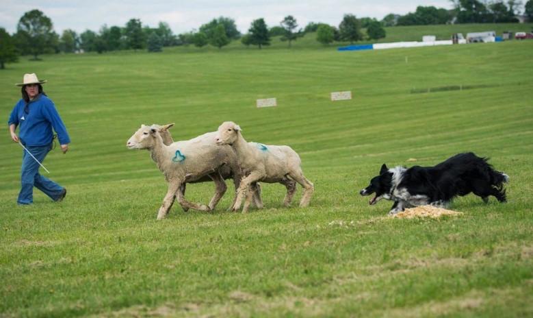 Çoban köpeği olarak görev yapan bir Border Collie