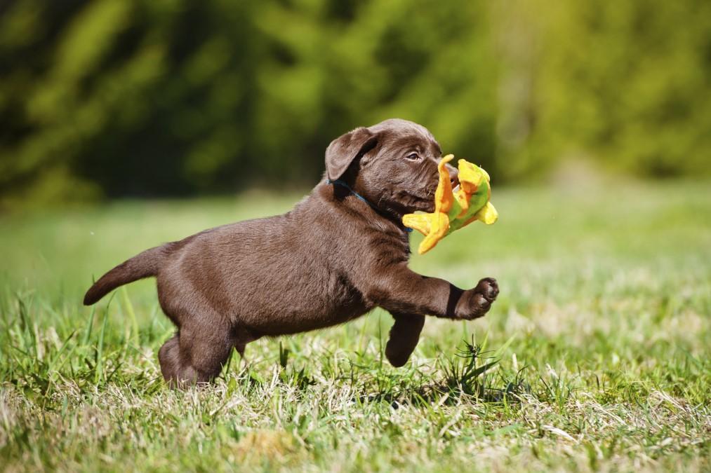 Çikolata renkli Labrador Retriever yavru