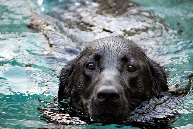 Yüzmek, Labrador Retriever için en eğlenceli aktivitedir.