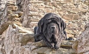 Napoliten mastiff köpek özellikleri