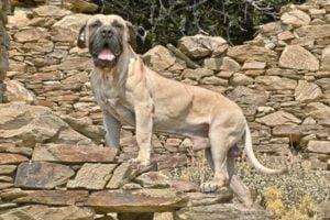 Presa Canario Köpek Irkı Özellikleri