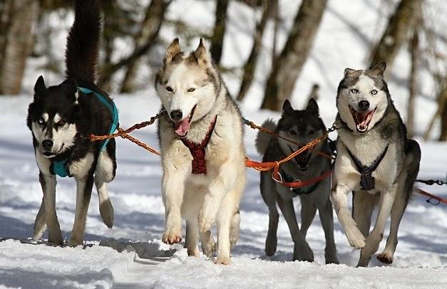 Sibirya Kurdu (Husky) mükemmel bir iş köpeğidir.