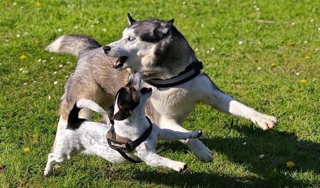 Husky, oyun oynamayı çok sever.
