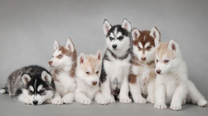Farklı renklerde Sibirya Kurdu Yavrular