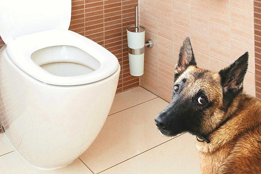 Köpeklerde tuvalet eğitimi kolay bir eğitimdir.