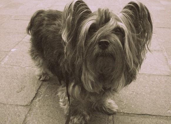 Yorkshire Terrier atalarından olan Paisley Terrier